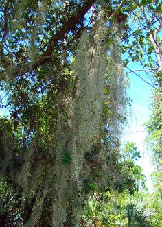 Spanish Moss 2 Taken at Port St. Lucie Botanical Gardens, Port St. Lucie, Florida.