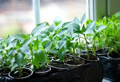 Growing fruit trees from seeds is an essential homesteading skill. If you want to start harvesting fruit trees, you'll love this easy way to grow your own fruit trees for free. You could save… Growing Fruit Trees, Pepper Plants, Tree Seeds, Diy Greenhouse, Urban Farming, Seed Starting, Spring Garden, Backyard Landscaping, Houseplants