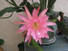 Fierce FloweRS / Epiphyllum Orchid Cactus