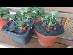 7 dicas imperdíveis para cultivar morangos em vasos - YouTube Cactus, Planter Pots, Succulents, Plants, Youtube, Ikebana, Gardening, Diy, Fruit Seeds
