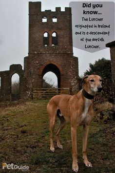 Technically, the Lurcher is a cross between a sighthound and any non-sighthound breed. These dogs are intelligent and hardy, ideal for hunting purposes. Rare Dog Breeds, Lurcher, Dog Rules, Big Dogs, Norfolk, Puppy Love, Cute Puppies, Pets, Animals