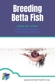 A step by step guide to breeding betta fish. This care guide will ensure betta fish breeding at home is a possibility for you.  You should follow several key steps outlined in this article to ensure that all the fish remain safe and will reward you with many healthy betta babies.