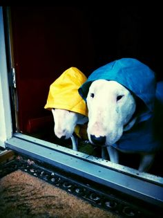 Bull Terriers Waiting For The Rain To Stop.