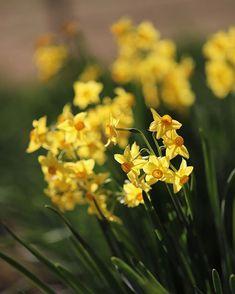 おはようございます😃 ☆ 2018.01.15撮影 黄色い花シリーズ💛 明るい色で心を弾ませ楽しい気分になって頂けたら嬉しいです(*^ω^*) 「水仙(スイセン)」の花言葉 「自己愛」「神秘」。 ☆ #権現堂堤#水仙#ラッパ水仙 #お写んぽ #写真が好きな人と繋がりたい #カメラが好きな人と繋がりたい #花が好きな人と繋がりたい #風景写真が好き#田舎の風景#はなまっぷ #マクロの世界#単焦点の世界 #iPhone7#キタムラカメラ写真投稿 #ペットが好き#愛犬#トイプードル♀#名前はトト