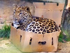 Even the BIG cats like boxes!