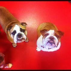 Bulldog hangs at City Bark - Parker, CO - Angus Off-Leash #dogs #puppies #cutedogs #bulldogs #dogparks #angusoffleash