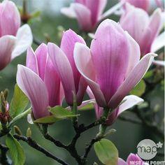 Magnolia soulangeana Rustica: conteneur rond carré de 5 L