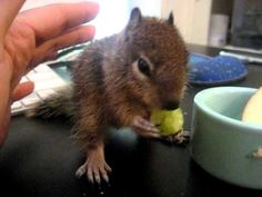 Mary Cummins, Animal Advocates. http://www.AnimalAdvocates.us http://www.facebook.com/AnimalAdvocatesUSA http://www.MaryCummins.com Baby ground squirrel learning to stand and eat