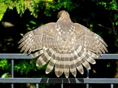 Cooper's Hawk with wings and tail spread. Photo by Jolene McArthur