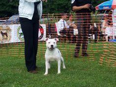 Carmielo Bosphorus Bulls Terrier Show, İstanbul-Türkiye 2013.06.