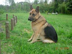 Hasso, the german shepherd.   #germanshepherddogs
