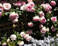 Climbing 'Pierre de Ronsard' roses on the rear fence at work in Norwood, South Australia