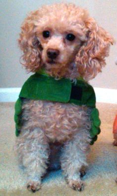 my apricot poodle in his frog costume for halloween