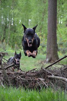 #Doberman - Flying Dobie
