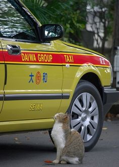 Only in Japan... Japanese stray cat hailing a cab.