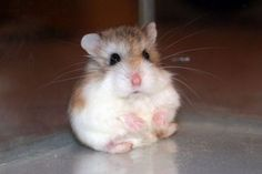 I'm just sitting on the floor with my cuteness hanging out. Roborovski Hamster