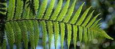 Types of indoors and outdoors ferns plants (with name and picture). Including how to take care of ferns.