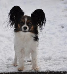 EARS of a butterfly dog. Papillon. Such pretty dogs!