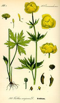 Trollius asiaticus with roots. Garden Journal, Nature Journal, Illustration Blume, Botanical Illustration, Botanical Flowers, Botanical Prints, Globe Flower, Norway Nature, Cherry Blossom Art
