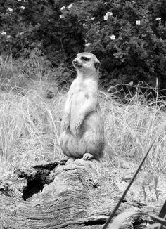 Meerkat security :)