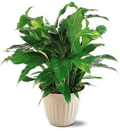 why do peace lily get brown leaves and tips gardening pinterest peace lily peace and lilies. Black Bedroom Furniture Sets. Home Design Ideas