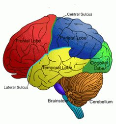 Brain is not fully mature until 30s and 40s; PhysOrg.com