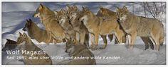 wolf - Google-Suche
