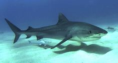 Tiger shark is also known as the Sea Tiger, and is quite large in size around 5 meters at its full growth. Enjoy some tiger shark pictures and wallpapers. Fun Facts About Tigers, Tiger Facts, Shark Facts, Dangerous Animals In Australia, Australia Animals, All Sharks, Types Of Sharks, Orcas, Shark In The Ocean