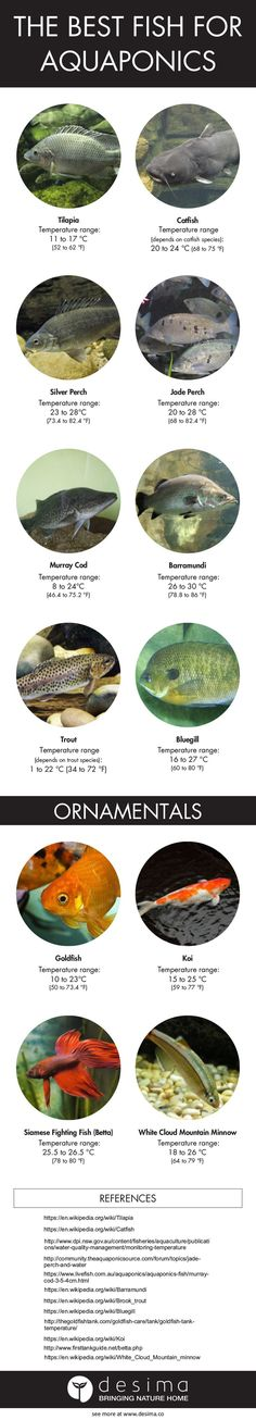 The best fish for aquaponics infographic                                                                                                                                                     More