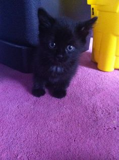 love black kittens This one is so cute. Incensewoman