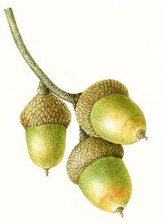 Acorns, botanical print, best botanicals