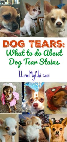 This will help you will learn about what causes your dog to have tear stains around the eyes and what you can to do to treat it and remove it. via @cathyratcliffe
