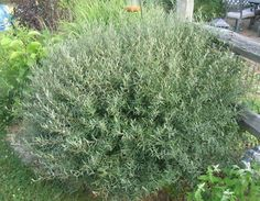 Osei Dwarf blue  willow bush | Dwarf Arctic Willow