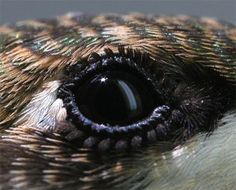 "Hummingbird eye. The eyes are relatively large and are set on the side of the head allowing the hummingbird to see both straight ahead and peripherally. Each eye is protected by a ""third eyelid,"" the semi-transparent nictitating membrane that covers and protects the eye while the bird is flying. The ""eyelashes"" are tiny tufts of feathers."