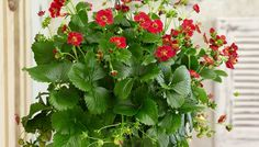 Strawberry Ruby Ann F1 Fragaria x ananassa  Strawberry F1 Ruby Ann is a real eye-catcher for its sensational ruby-red flower colour. The compact plant of Ruby Ann produces a ruby-red cascade of flowers and sweet fruits during whole summer.