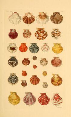 v.1 (1847) - Thesaurus conchyliorum, or, Monographs of genera of shells - Biodiversity Heritage Library Botanical Drawings, Botanical Illustration, Botanical Prints, Photo Wall Collage, Collage Art, Vintage Prints, Vintage Art, Arte Copic, Wall Prints
