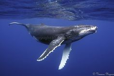 Humpback whale - Google More