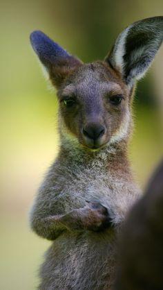 Young Australia Kangaroo