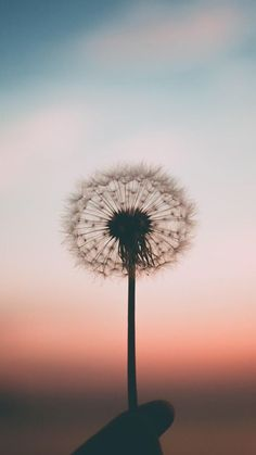 Beautiful Dandelion iPhone Wallpaper #IphoneWallpapers