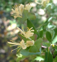 A New Infatuation: Wild Honeysuckle » The Medicine Woman's Roots