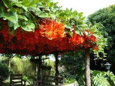 Jade vermelha (Mucuna bennettii): Trepadeira bastante vigorosa de ramos moles e crescimento rápido.  Evitar solos compactados preferindos os ricos em matéria orgânica e bem drenados. Pleno sol ou meia-sombra, de clima Tropical e subtropical.