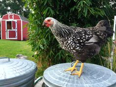 Chicken Blog: Some Feathered Friends