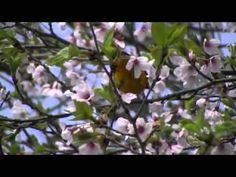 Dance of the Oriole