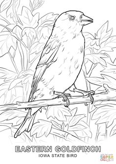 Iowa State Bird Coloring Page From Category Select 27237 Printable Crafts Of Cartoons Nature Animals Bible And Many More