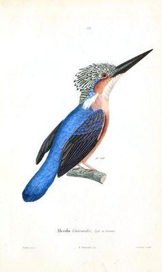 Animal-Bird-Kingfisher-blue