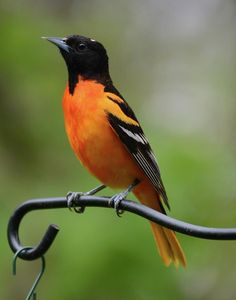 Baltimore Oriole Photograph by P Neil Ralley