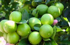 Los limoneros son árboles frutales que requieren de pocos cuidadados. Aqui te enseñamos a sembrar y cuidar de un árbol de limones en casa
