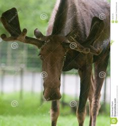 moose head lowered - Google Search Moose Head, Call Of The Wild, Horses, Animals, Google Search, Animales, Animaux, Animal, Animais