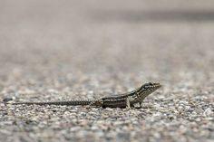 Saiba como afastar da sua casa os temidos lagartos e lagartixas - http://comosefaz.eu/saiba-como-afastar-da-sua-casa-os-temidos-lagartos-e-lagartixas/