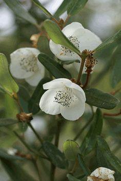 Eucryphia lucida Leatherwood